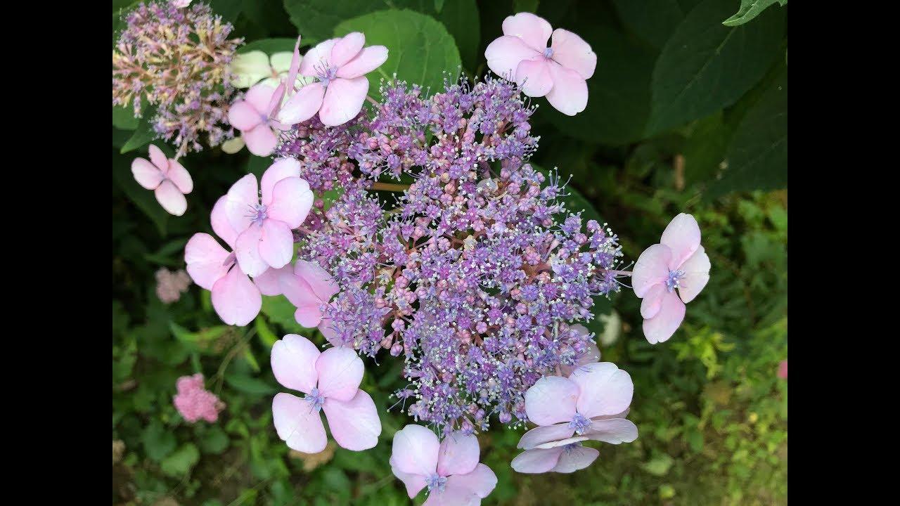 Hortensia A Fleurs Plates Hydrangea Macrophylla Les Petits Jardins