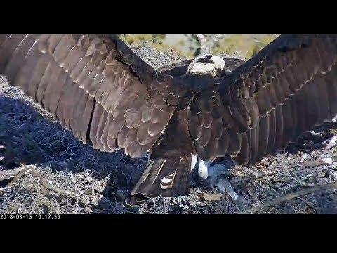 Fish delivery for Mom from Rhett, Skidaway Island Ospreys 2018 03 15 09 52 20 931