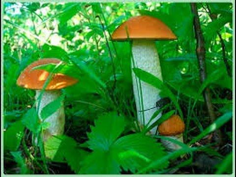 Шляпочные грибы. Биология 5 класс.