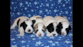 Coton Puppies For Sale - China 9/27/21