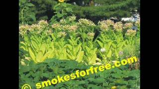 How to Grow Your Own Organic Tobacco