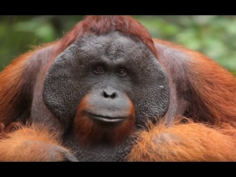 Save the Sumatran Orangutan from extinction | The Organutan Project