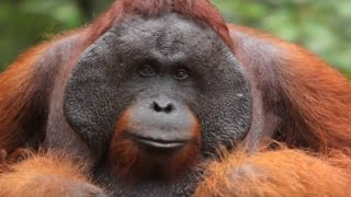 SAVE THE SUMATRAN ORANGUTAN FROM EXTINCTION