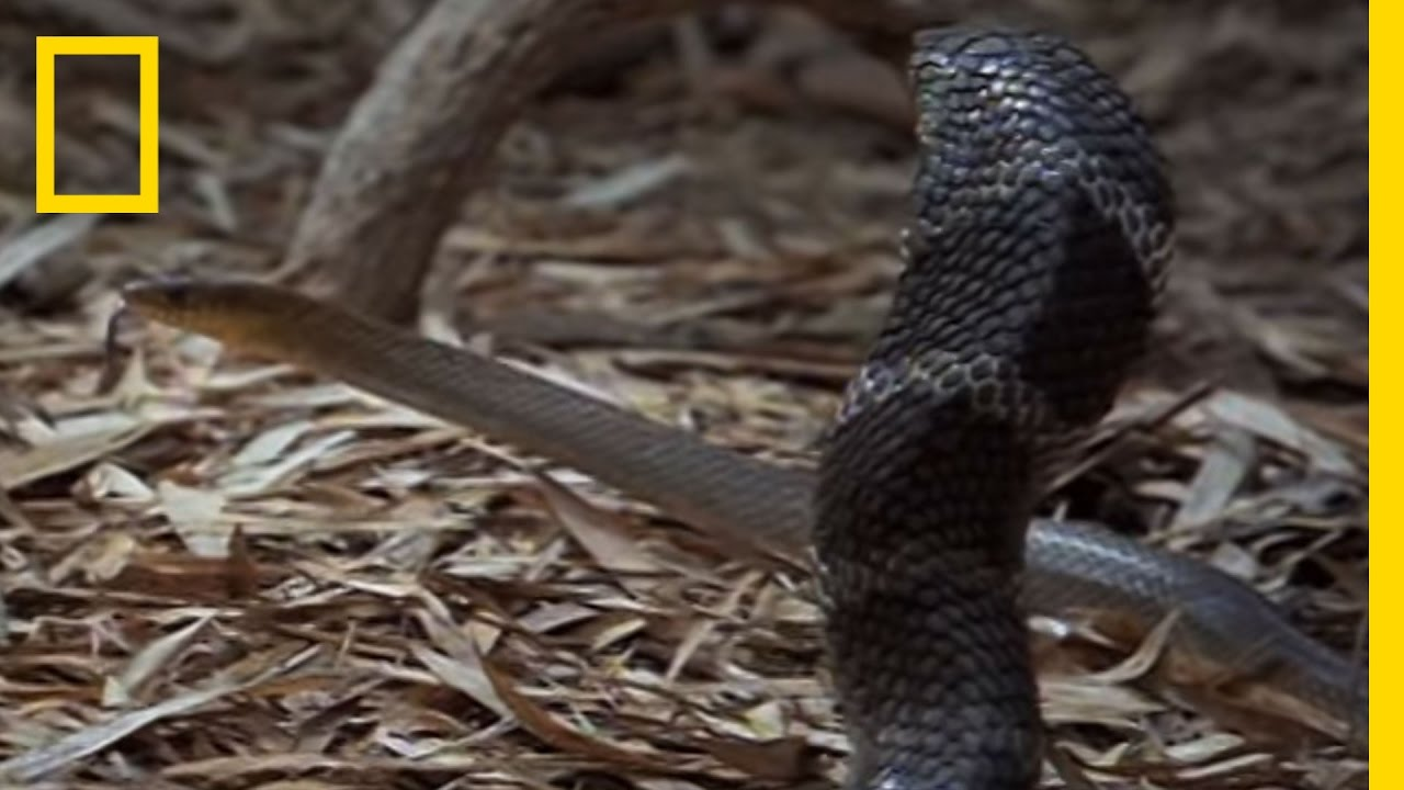 Cobra vs  Rat Snake | National Geographic