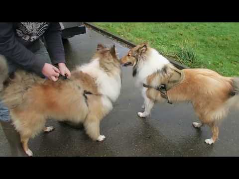 ROUGH COLLIE MEETS HIS MUM & DAD ON HIS FIRST BIRTHDAY