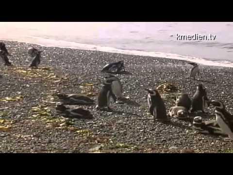 Pinguine in Patagonien Südamerika