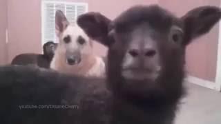 Песня животных. Лучшие смешные приколы 2015-2016. Для детей смотреть.
