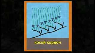 Формировка винограда - Косой кордон