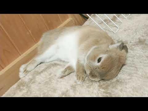 ホットカーペットでくつろぐウサギ