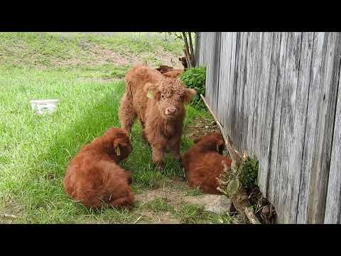 ハイランド牛 可愛い仔牛ちゃん Highland Cattle calves 2016 0518