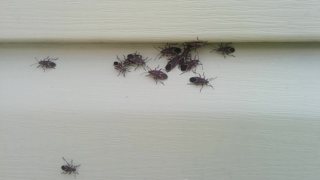 How To Quickly Kill Box Elder Bugs Youtube