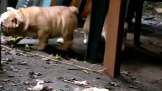 Щенки английского бульдога, видео 3.