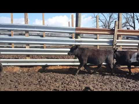 Boothe's Longview Farm steers