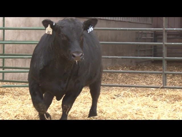 Schiefelbein Angus Farms Lot 185