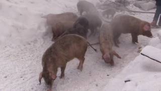 ロシアの農場で火災、150匹の子豚たちを消防士たちが救い出す