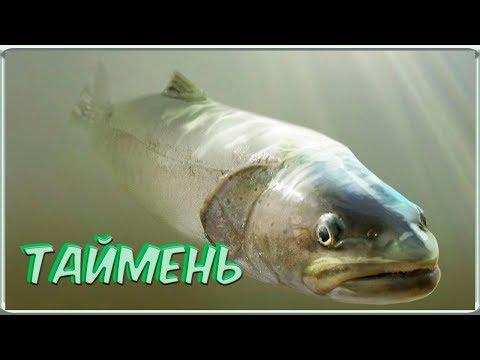 Красная рыбы из красной книги. Таймень. Восточный Казахстан.