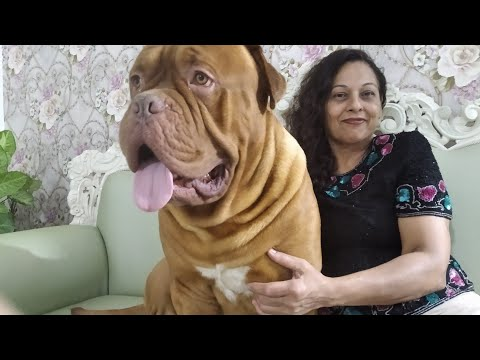 French Mastiff || Dogue De Bordeaux || Facts in Hindi || Anupma Pandey