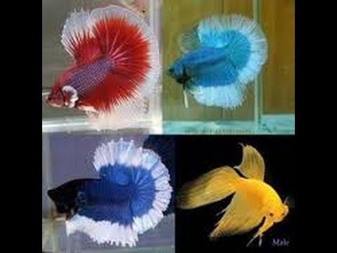 Most beautiful colorful betta fish in the world 2016 youtube for Show me pictures of fish