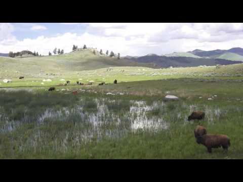 Relaxing Scene of Bison Grazing at Yellowstone
