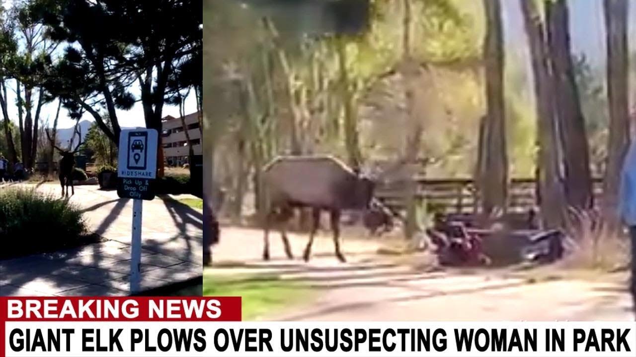 BREAKING: GIANT ELK ATTACKS UNSUSPECTING WOMAN IN PARK