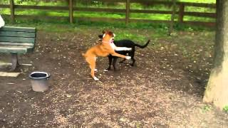 Boxer Dog Exhibits Characteristic Wrestling Play