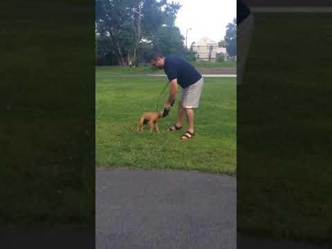 THE PITBULL puppy tug-a-war🚀🚀🚀