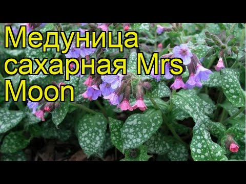 Медуница сахарная Миссис Мун. Краткий обзор, описание характеристик pulmonaria saccharata Mrs Moon