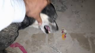 amazing dogs treatment about in village 2021