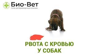 Рвота с кровью у собак. Ветеринарная клиника Био-Вет.