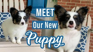 Bringing Home Our 9 Week Old Papillon Puppy! // Percy the Papillon Dog