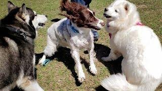 Husky Visits The Dog Park