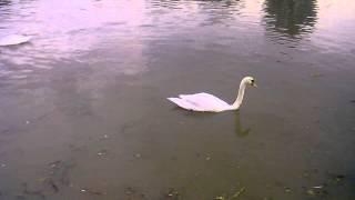 Хрюши Лебеди река Майн Франкфурт-на-Майне район Höchst