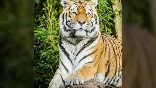 Wallpaper tiger in mobile