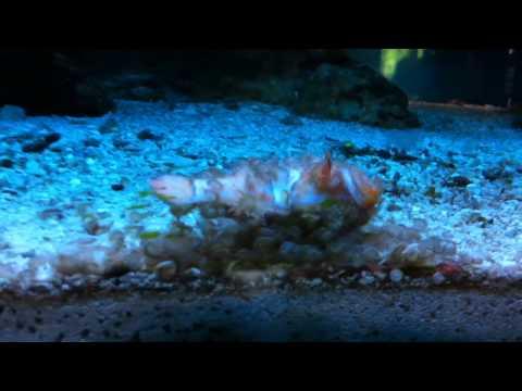 Amphipod Or Copepod Eating Clownfish???