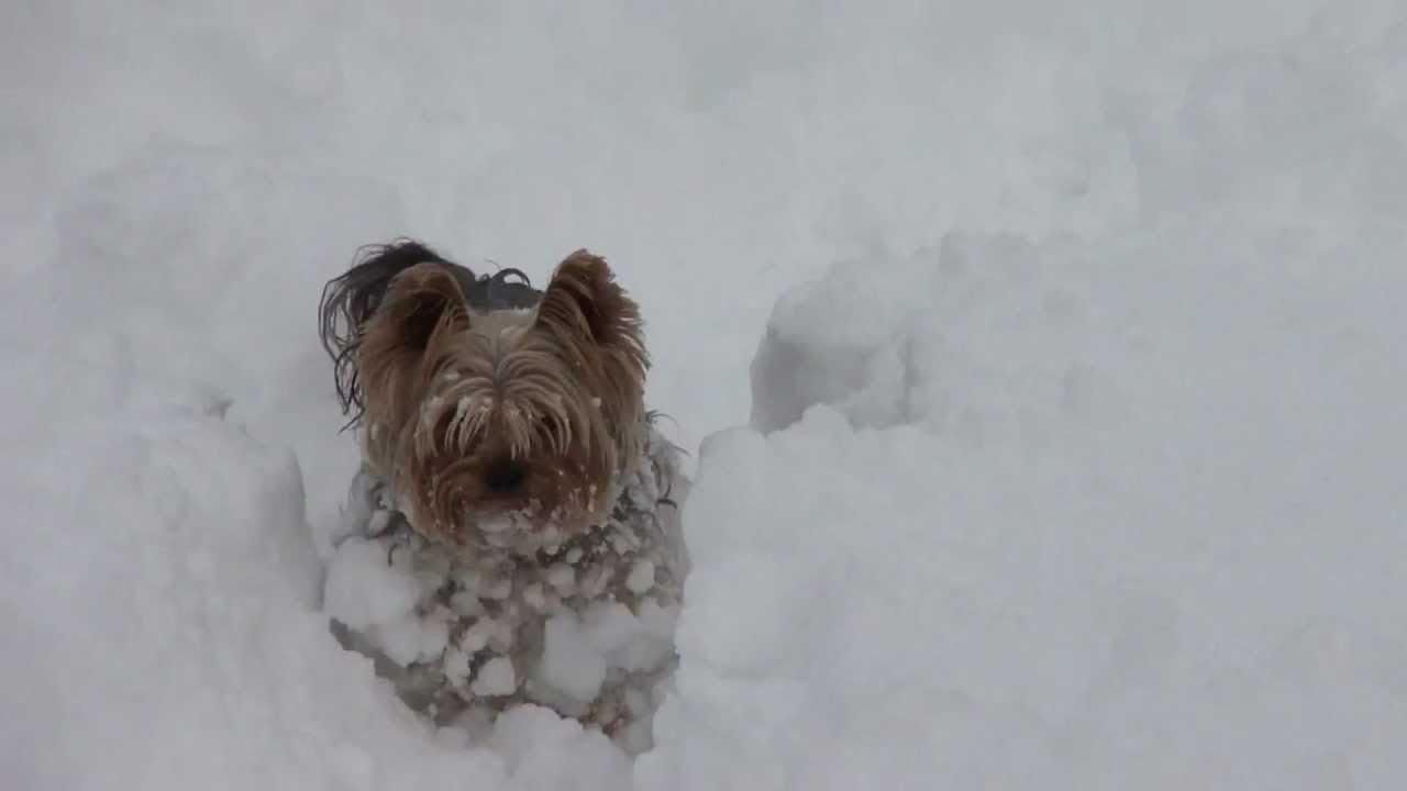 Yorkie And Cat Play In The Snow Youtube