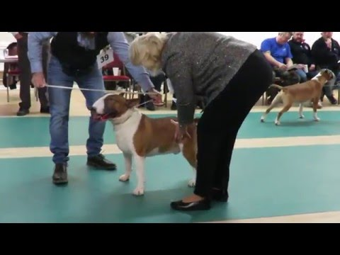 West of England Bull Terrier Club Championship Show March 2016 Junior Dog Class