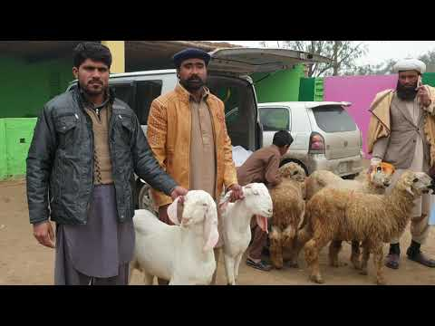 Doodhwali Bakriyan Beetle Bakri Rajanpuri Bakra Gaon Goat Farming Ka Tarika Bakra Mandi Madiwala