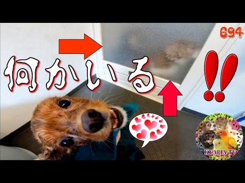 こんなかわいい嫉妬、アリなんですか?キャバリア犬のシャンプー中に 694 おもしろい動物ペットFunny Dogs