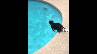 Dexter The Underwater Diving Dachshund