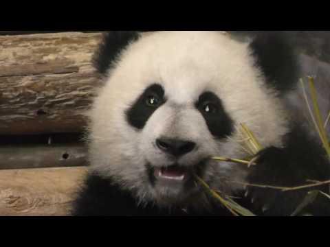 Toronto Zoo Panda's