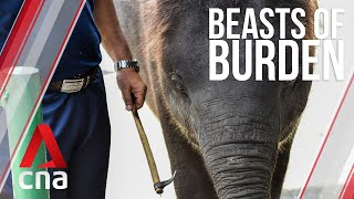 Hooks, chains and pain: How Thailand's elephants became a symbol of despair