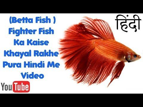 Fighter Fish (Betta Fish) Care Tips In Hindi/Urdu