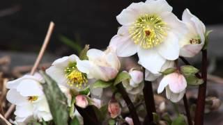 Greensleeves, Sait multa kukkaset toukokuun