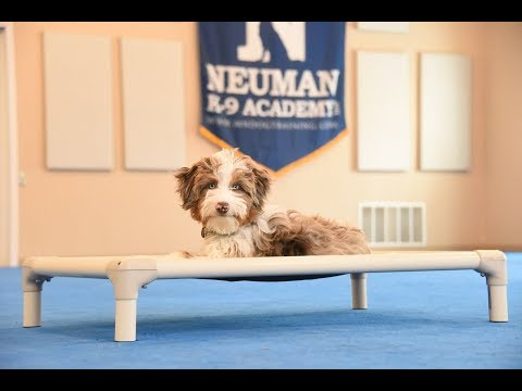 Chewy (Aussie Doodle) Boot Camp Dog Training Video Demonstration