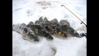 Catching of a large pike perch. How to catch zander. Pike perch on a goat / Pike perch in winter