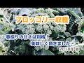 動画で家庭菜園 野菜の育て方マニュアル『ブロッコリー収穫 春採りの甘さは別格!…