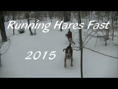 Running Hares Fast -2015(Beagle Boys Rabbit Hunting)