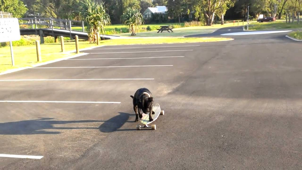 Resultado de imagen para Staffy skateboarding