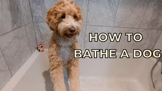 How to Bathe a Labradoodle at Home & Drying with Dyson Hair Dryer