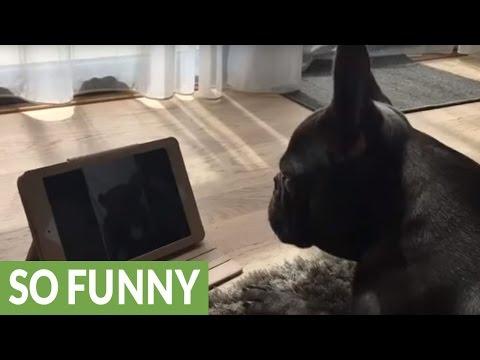 French Bulldog video calls his girlfriend